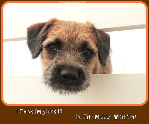 Border Terrier, Dog,
