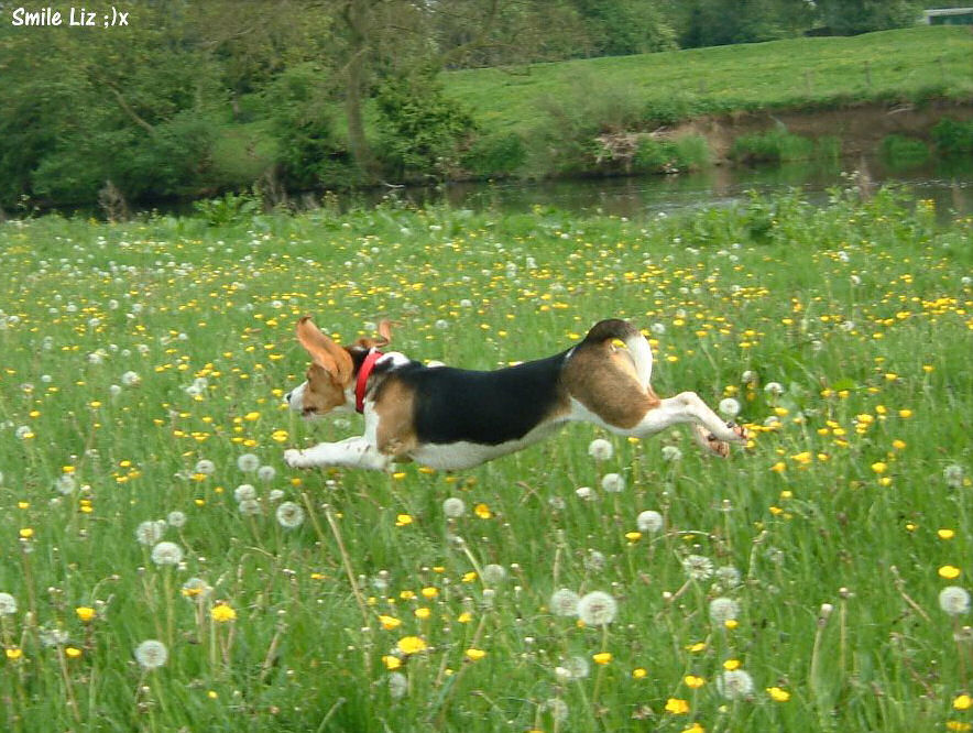 beagle running through grass
