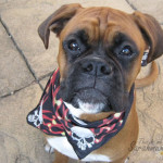 boxer in bandana