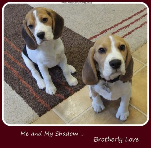 brothers, family, love, dogs, beagles, cute, photo, quote