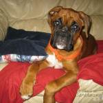 cute puppy boxer dog
