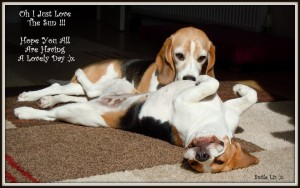 beagles in the sun quote beautiful cute photo