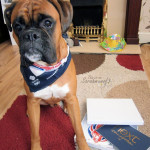 next bandana boxer dog