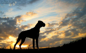 boxer dog sunset