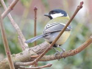 This Beautiful Great Tit Came To Visit Our Bird Feeders