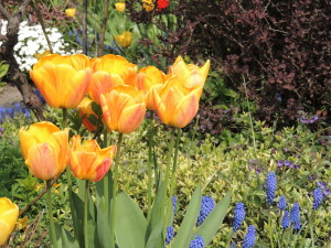 1 Tulips and Blue Bells